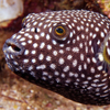 Spiny Puffer Fish