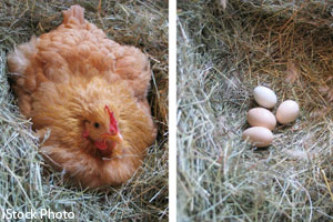 Hen and chicken eggs