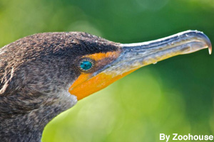 Close-up of a cormorant bird