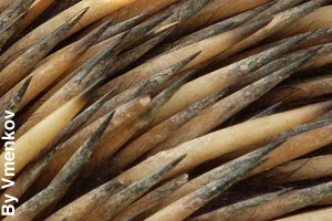 Close-up of the sharp spines of an echidna