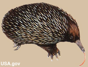 An echidna has a very long tongue.