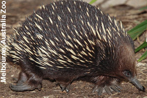 An adult echidna looking for food