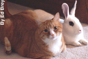 An American shorthair with its friend, a rabbit