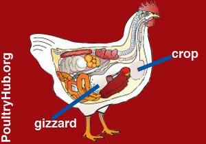 Diagram showing the crop and gizzard of a bird
