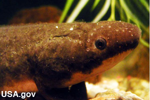 A lungfish