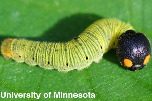 The larva stage of an insect