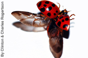 The wings of a ladybug