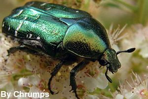 A beetle is an invertebrate.