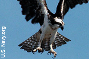 Osprey showing its talons