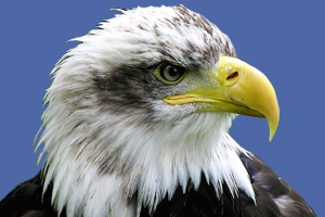 A bald eagle, the national bird of the United States