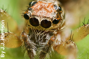 Close-up of spider's eyes and pedipalps