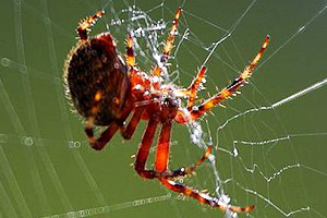 The spider uses its spinneret to make a web.