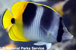 A beautiful butterfly fish