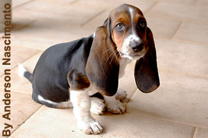 A young Basset Hound