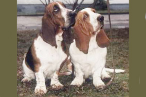 A male (left) and female Basset Hound