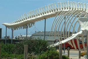 Back part of blue whale skeleton