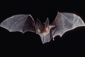 Big-eared bat in flight