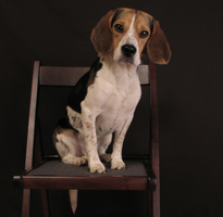A beagle is very smart.