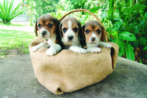 A basket full of beagle puppies