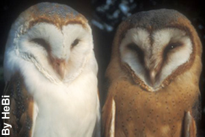 A pair of barn owls; male (left) and female (right)