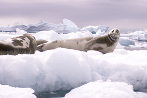 Some seals (above), whales, sharks, penguins, terns and fish live in Antarctica