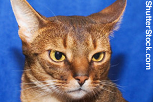 A red Abyssinian cat