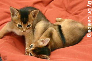 Two playful Abyssinian kittens
