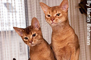 A pair of young adult Abyssinian cats