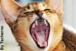 An Abyssinian yawning