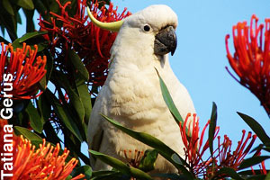 A yellow-crested cockatoo