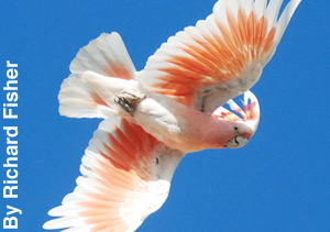 A pink cockatoo in flight