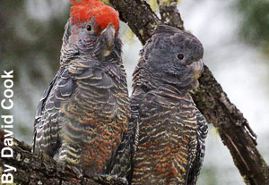 A pair of red tailed cockatoos