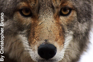 Close-up of a coyote