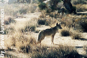 A coyote in the desert