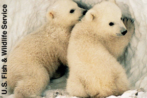 Two polar bear cubs