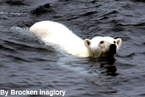 Polar bear swimming in the ocean