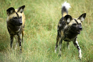 A pair of wild dogs