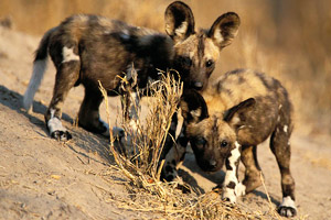 Two wild dog pups