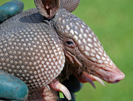 Close-up of an armadillo's head