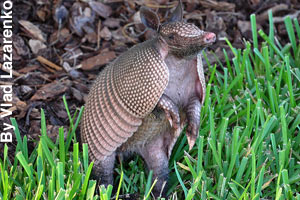 An armadillo up on its hind legs