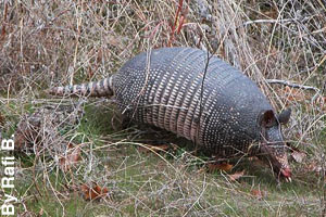An armadillo looking for food.
